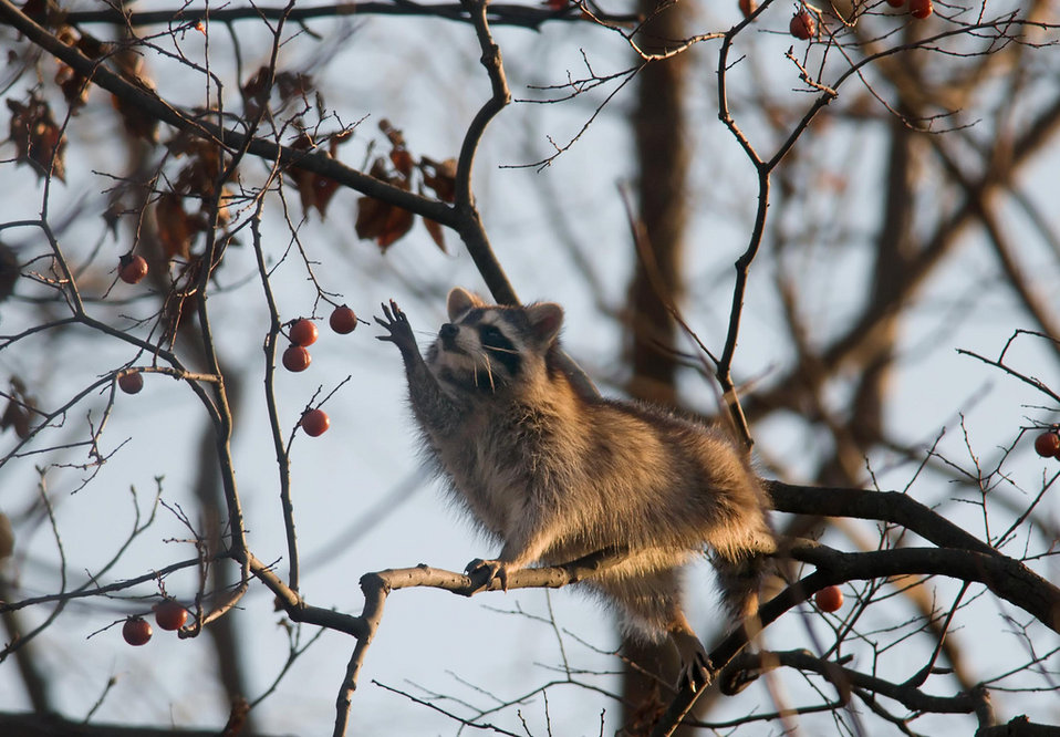 raccoon and persimmons