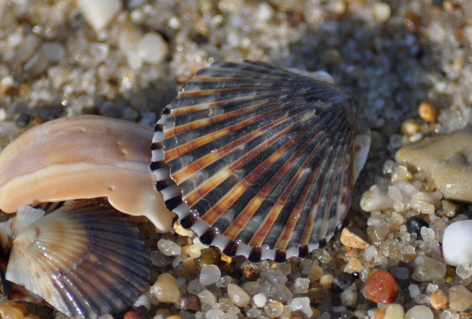 scallops washed ashore