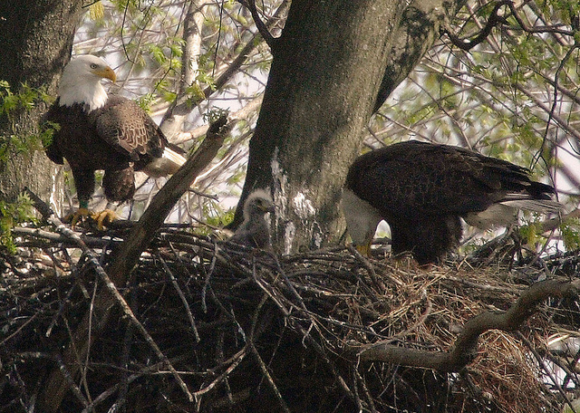 bald eagle father feeding his chicks