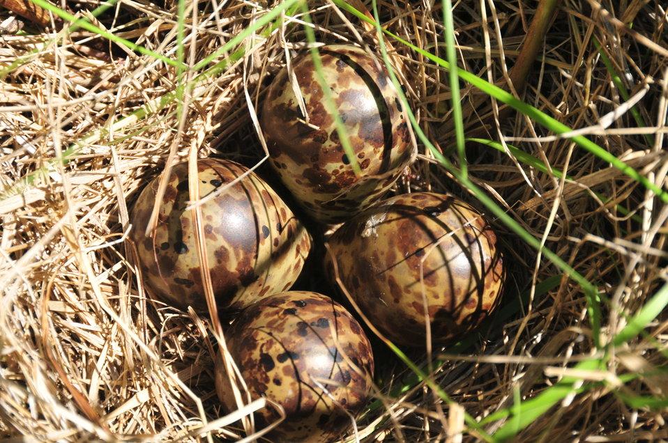 Wilson's Snipe Nest