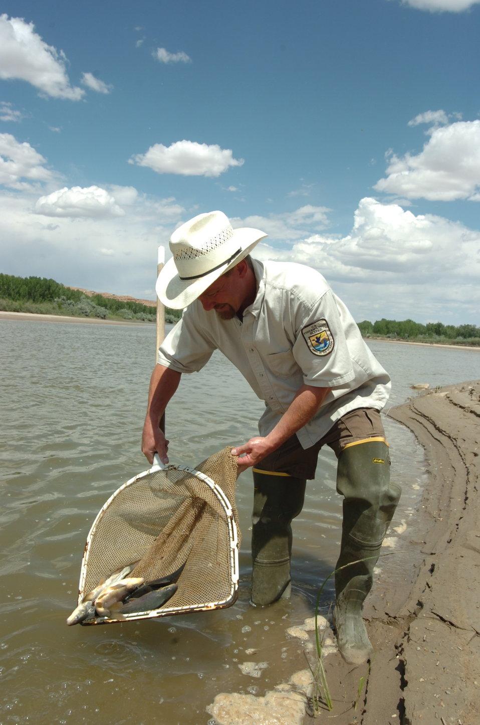 Stocking razorback suckers in the Yampa River