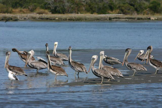 Pelicans on Humboldt Bay