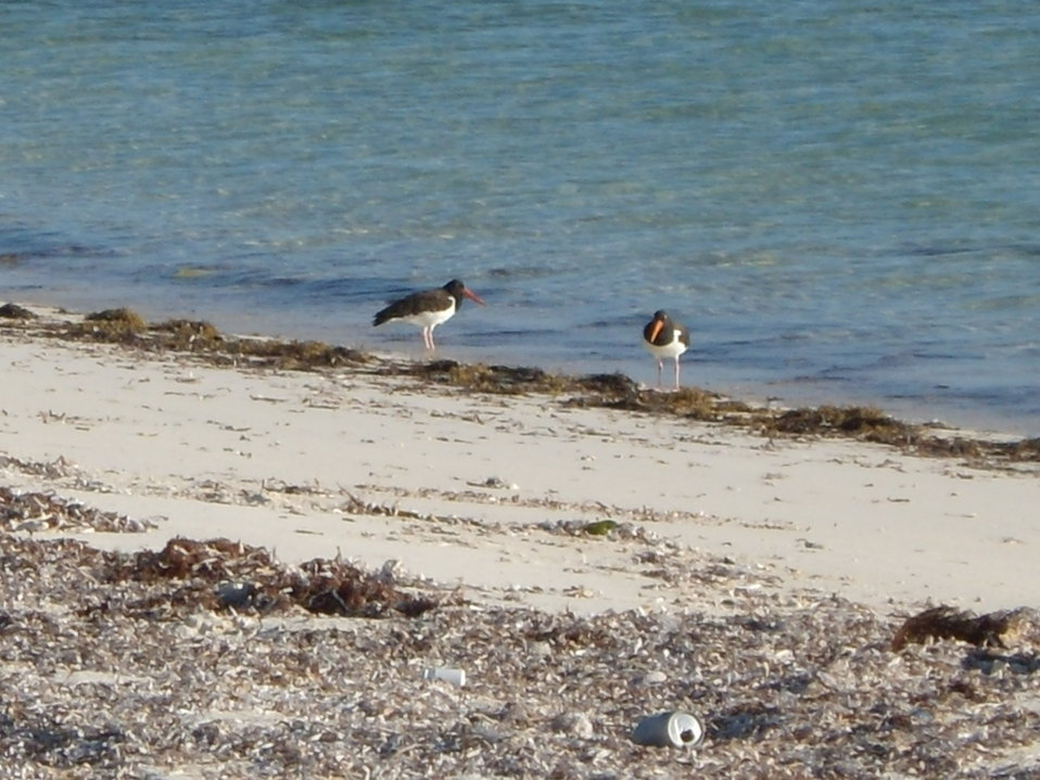 American Oystercatchers (adults)