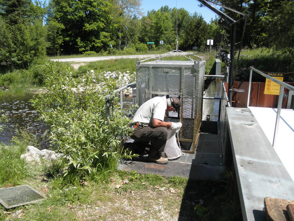 Service Employee checking a trap at an outlet of Carp Lake, Michigan.