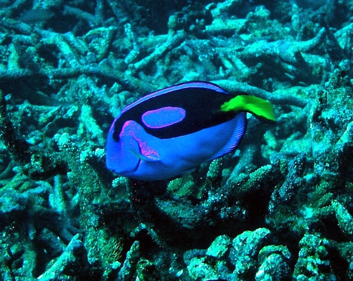 Pacific blue tang at Baker Island NWR
