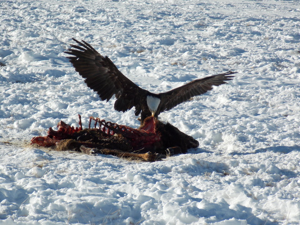 A Bald Eagle Enjoys an Easy Meal