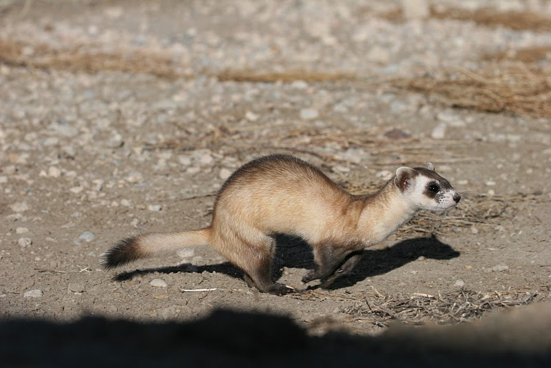 Running Black-footed Ferret