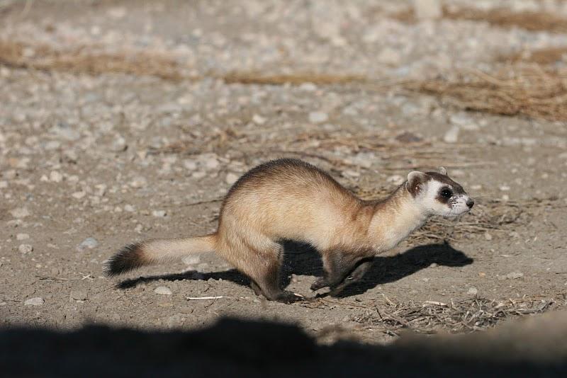 Running Black-footed Ferret