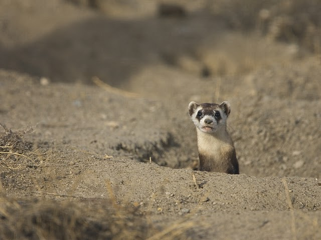Black-footed Ferret Peeks Out From Burrow