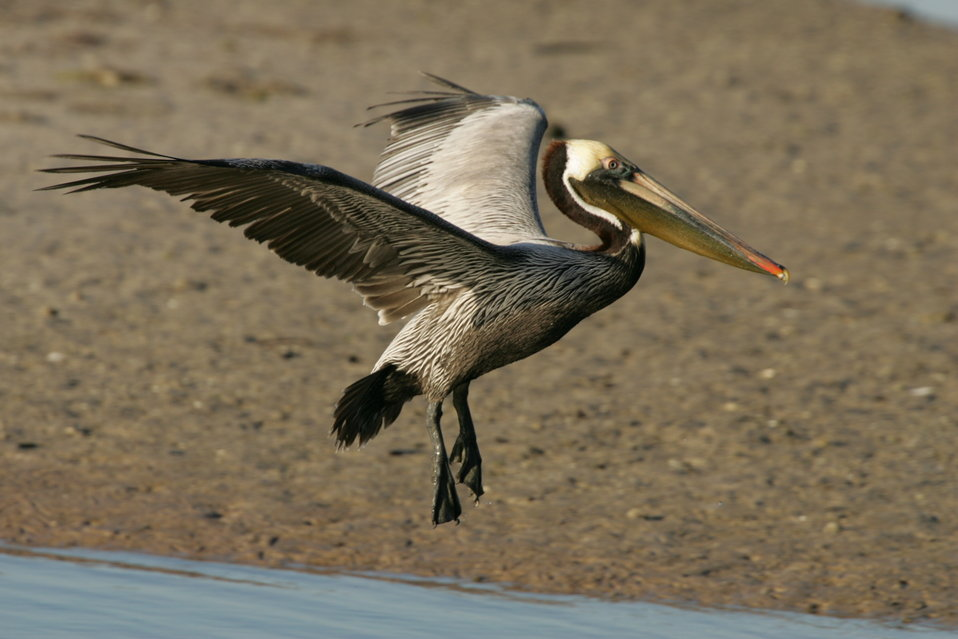 Brown Pelican, J.N. 'Ding' Darling NWR