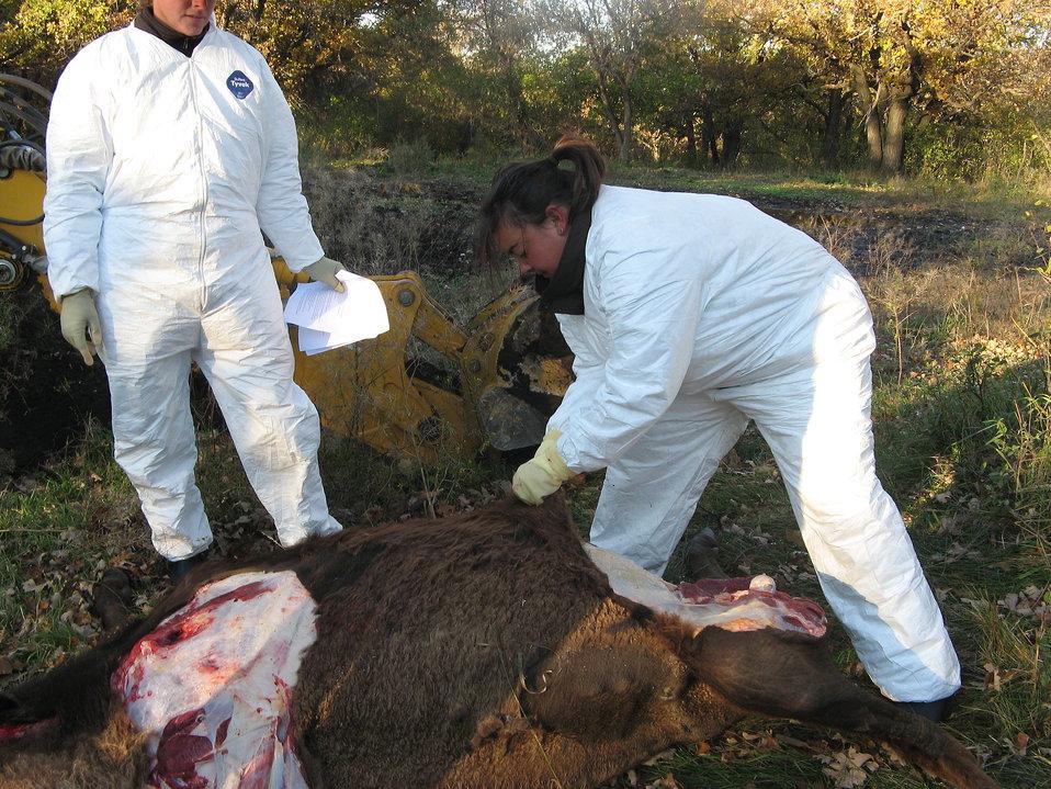 Bison Necropsy