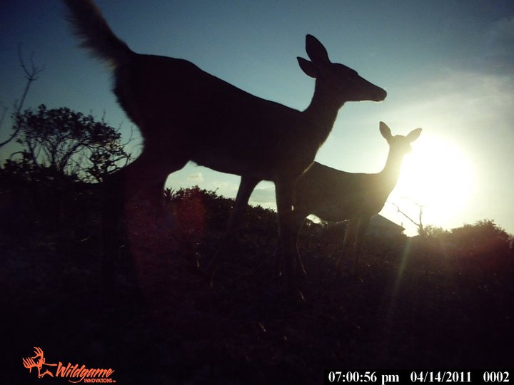 key deer at sunset