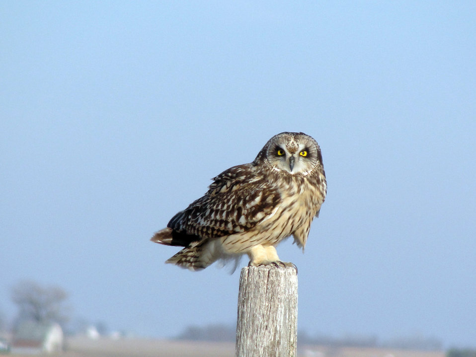 Short-eared Owl at Neal Smith National Wildlife Refuge