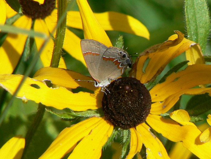 red-banded hairstreak butterfly on coneflower