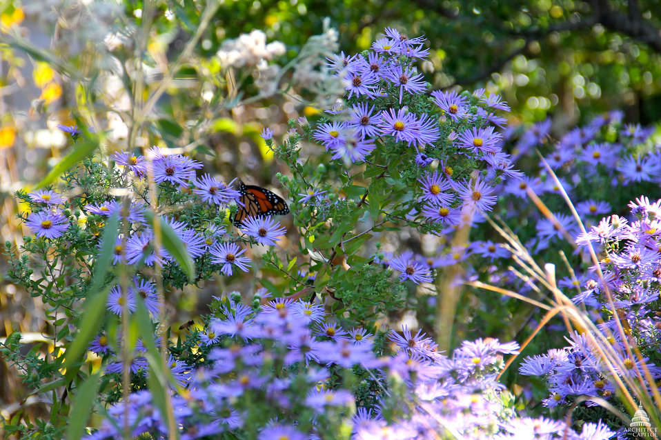 The aromatic aster (Symphyotrichum oblongifolium)