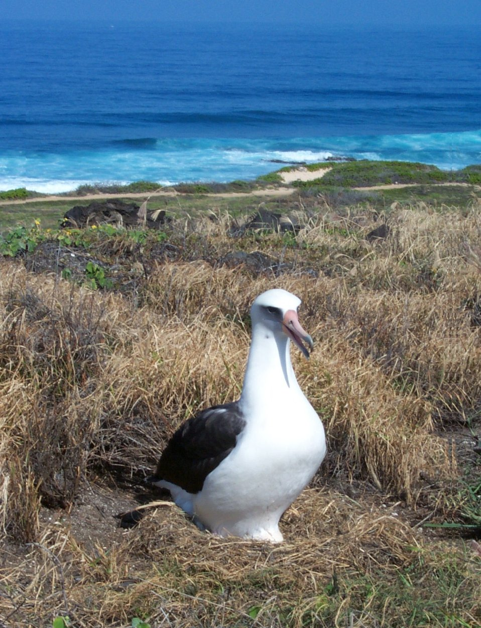 Laysan albatross, Credit USFWS Chris Swenson