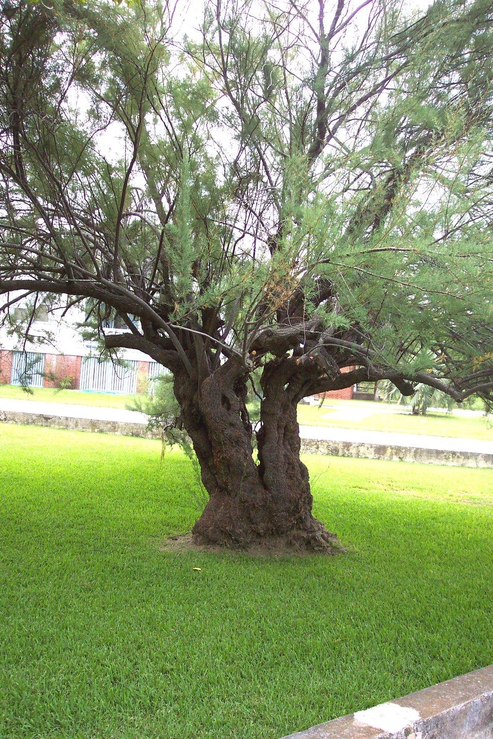 A gnarly tree at Stella Maris Catholic Church on Sullivans Island.