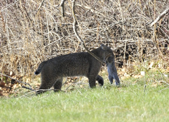 Photo of the Week - Bobcat (MA)