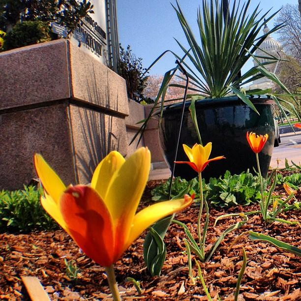 Morning at US Botanic Garden - Tulipa clusiana 'Tubergen's Gem' - in bloom.