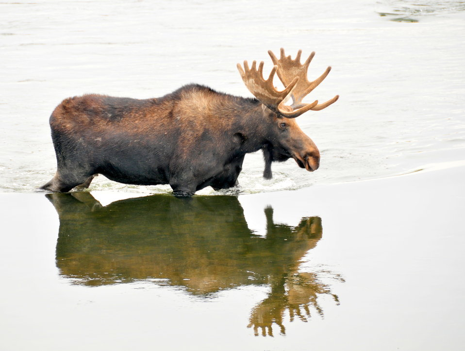 Shiras Moose Bull Crossing the Green River on Seedskadee NWR 1