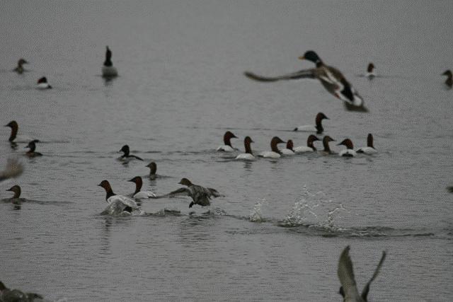 Diver Ducks Swimming