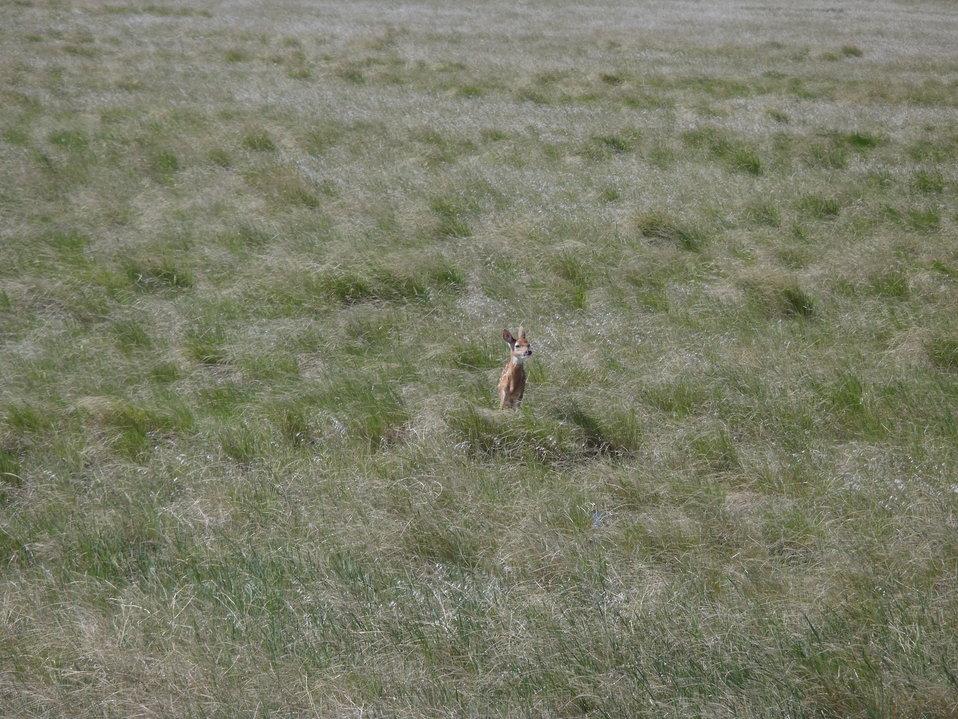 White-tailed Deer Fawn (Odocoileus virginianus)