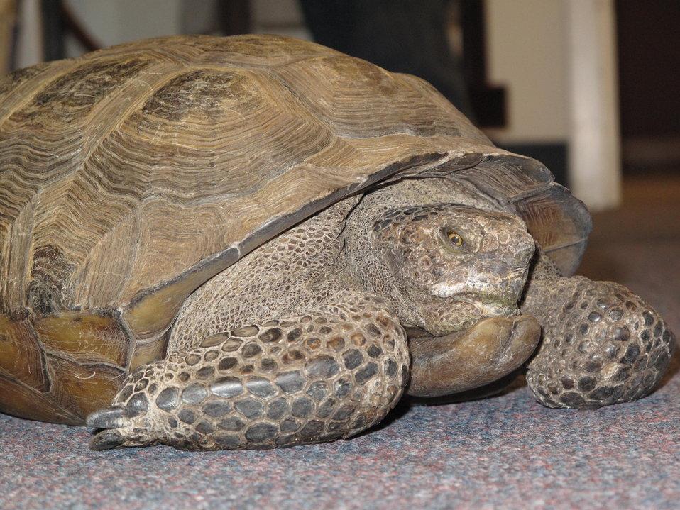 Crush the Desert Tortoise