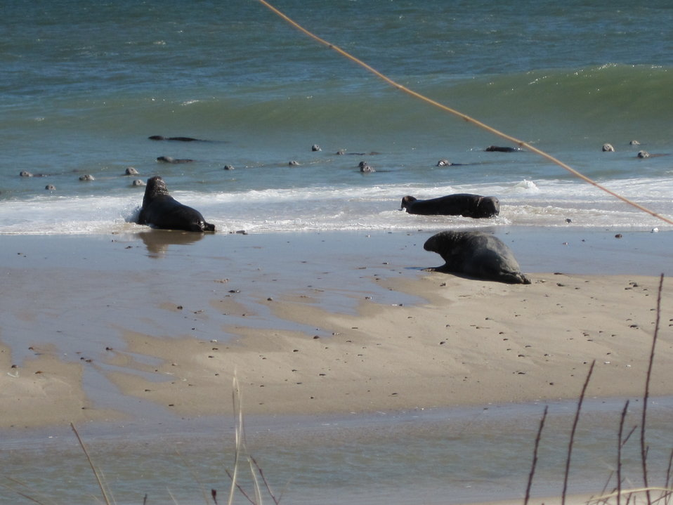Seals on South Monomoy Island