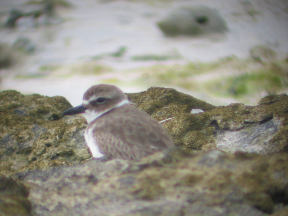 Wilson's plover through spotting scope