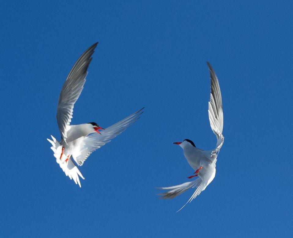 Common tern dance