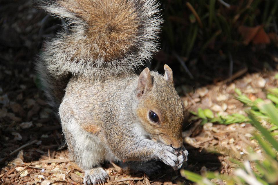 Capitol Hill Squirrel