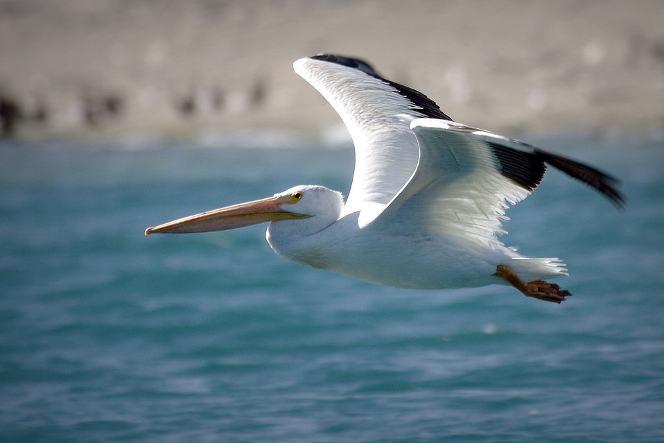 Anaho Island NWR adult American white pelican
