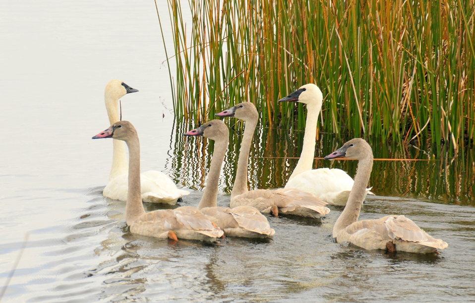 Trumpeter Swan Family Group on Seedskadee NWR