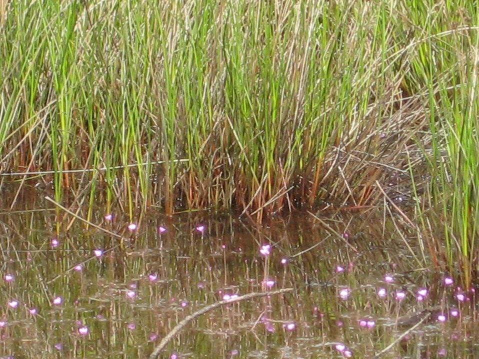 Old Fort Bayou Preserve bladderwort
