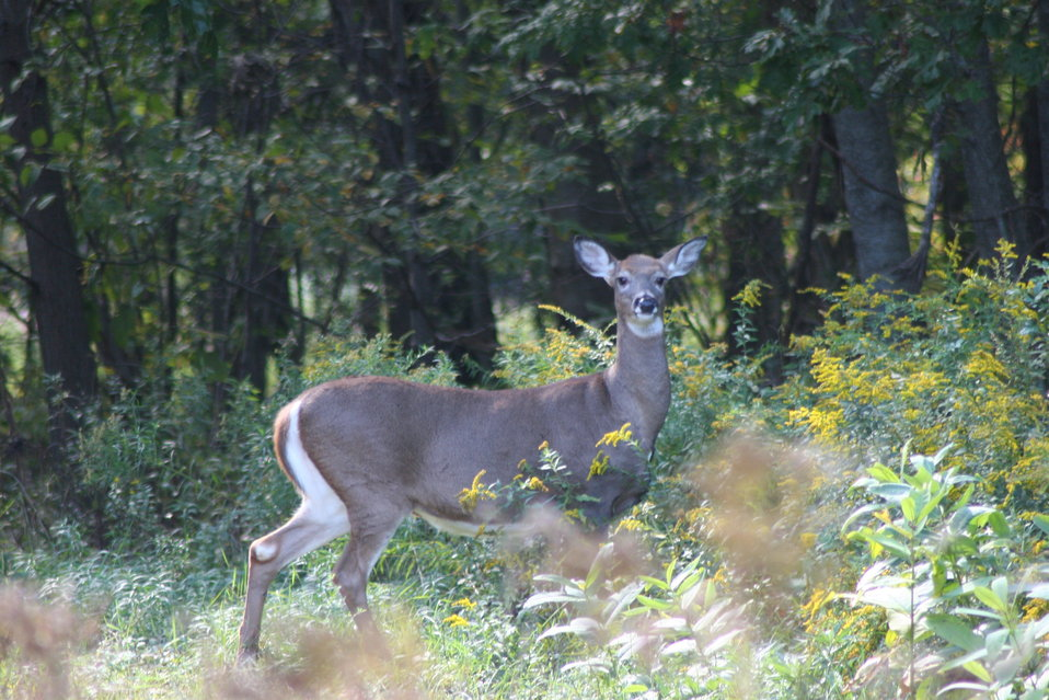 White-tailed deer at Great Bay NWR