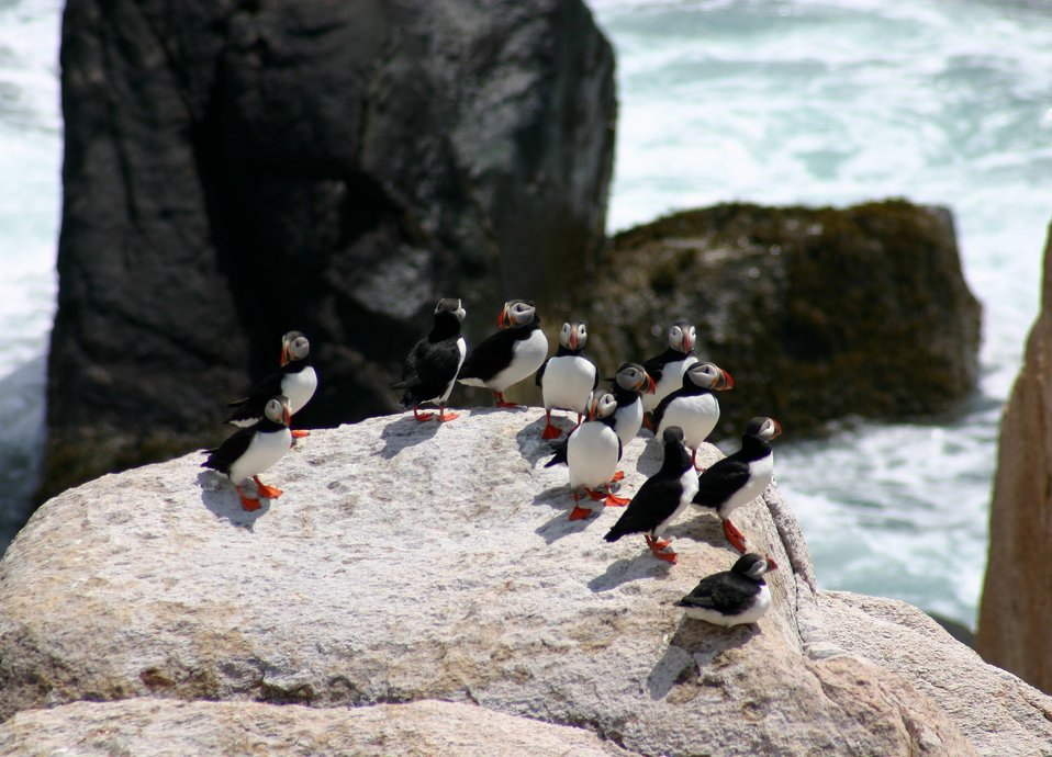 Atlantic puffins at Matinicus Rock