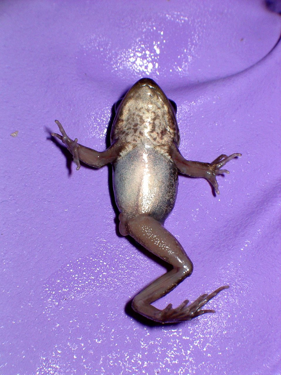Wood frog with missing limb.