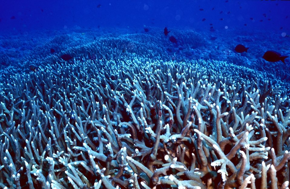 Staghorn coral on Baker Island NWR