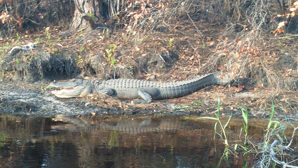 alligator, Okefenokee National Wildlife Refuge, GA