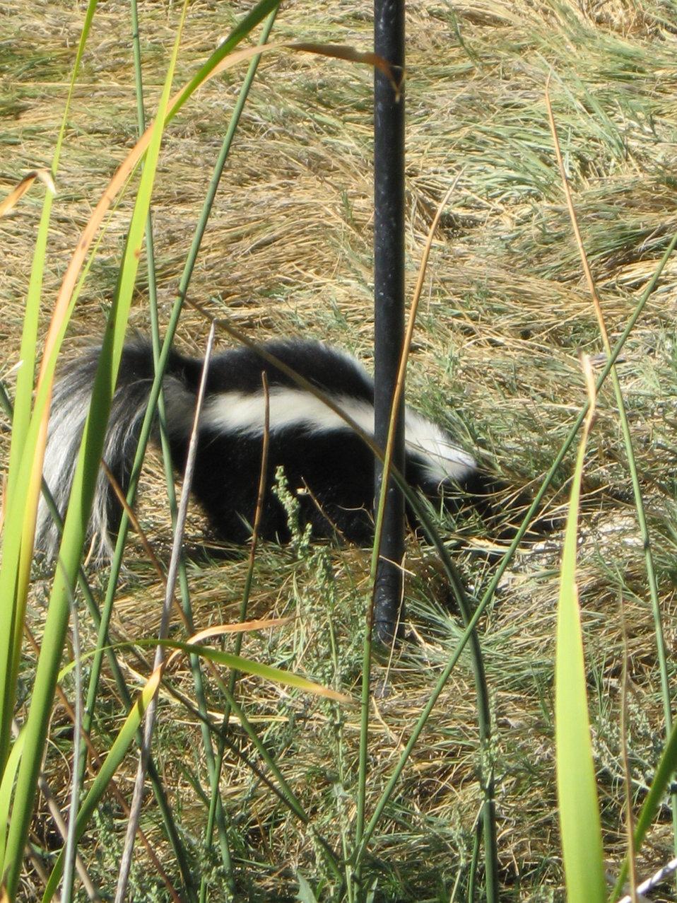Skunk at the Bird Feeder