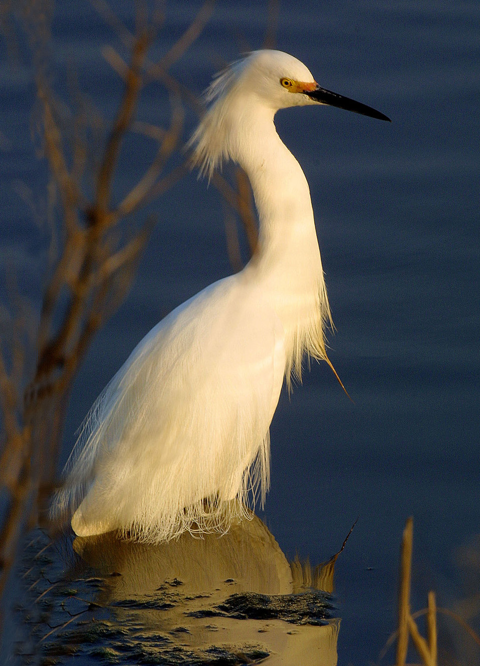 Photo of the Week - Snowy Egret (PA)