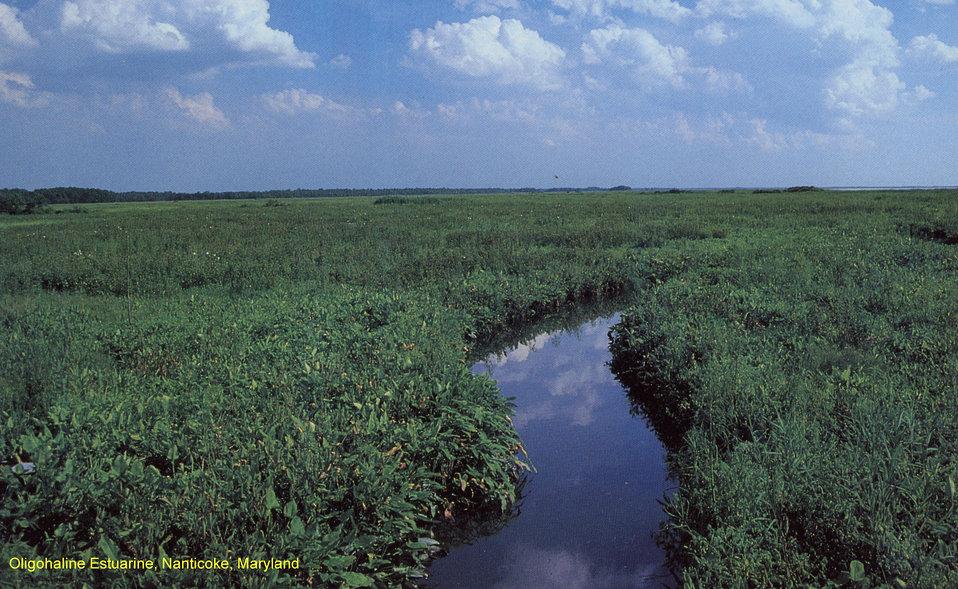 Slightly Brackish (Oligohaline) Marsh, Nanticoke, Maryland