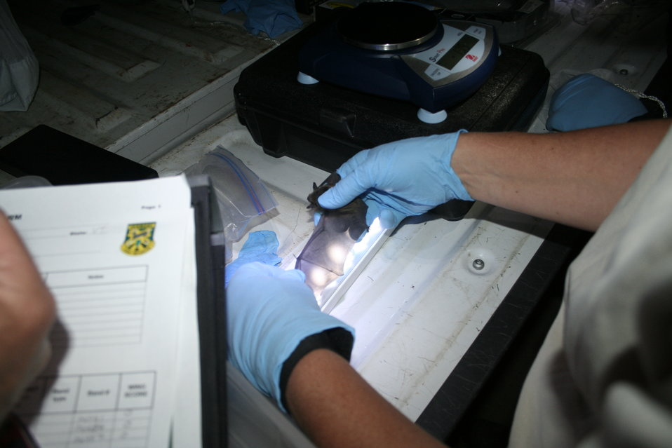 Biologist inspects bat wing for signs of WNS