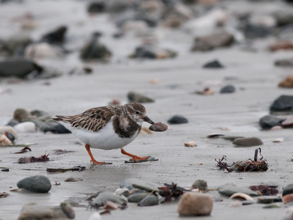Ruddy Turnstone Feeding