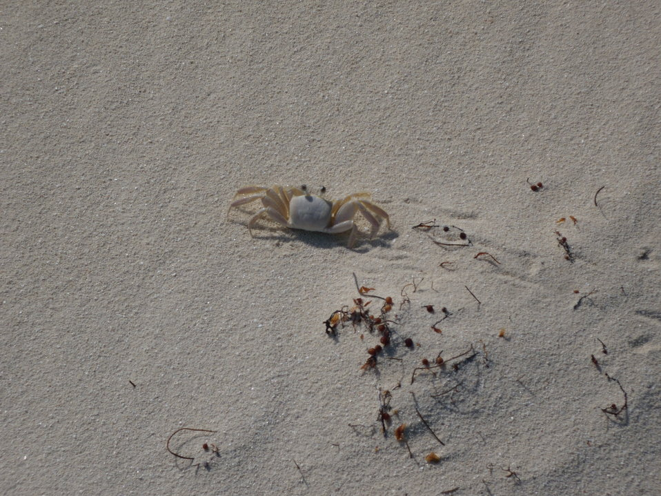 Ghost crab on Berry Island