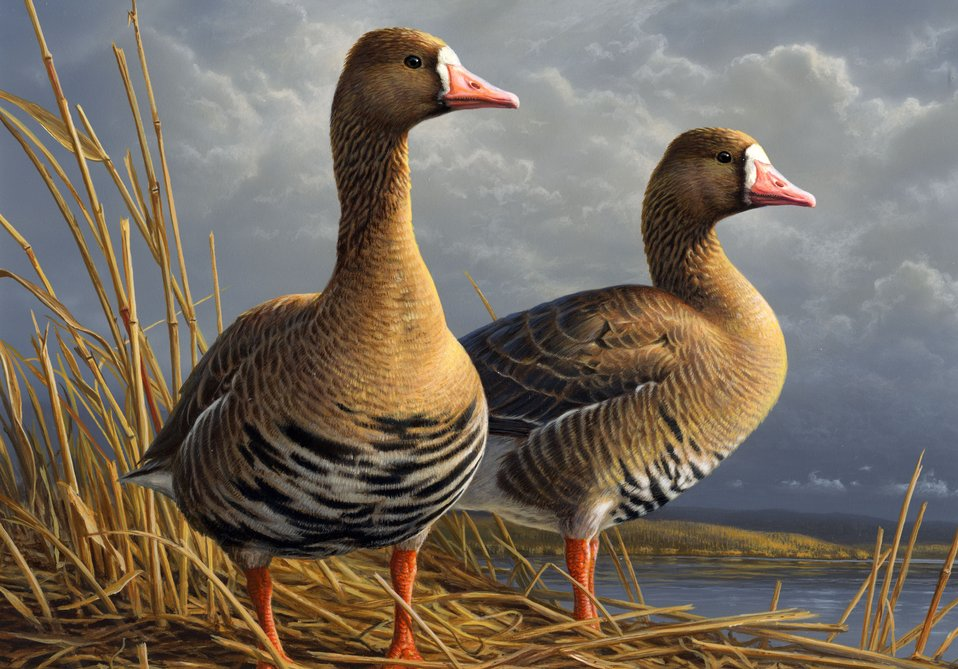 Photo of the Week: 2010 Federal Duck Stamp Winning Painting, James Hautman, an artist from Chaska, Minnesota