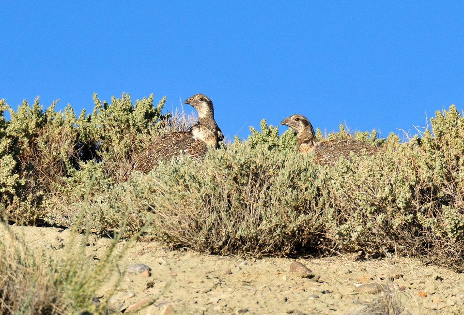 Sage-grouse in Sagebrush on Seedskadee NWR