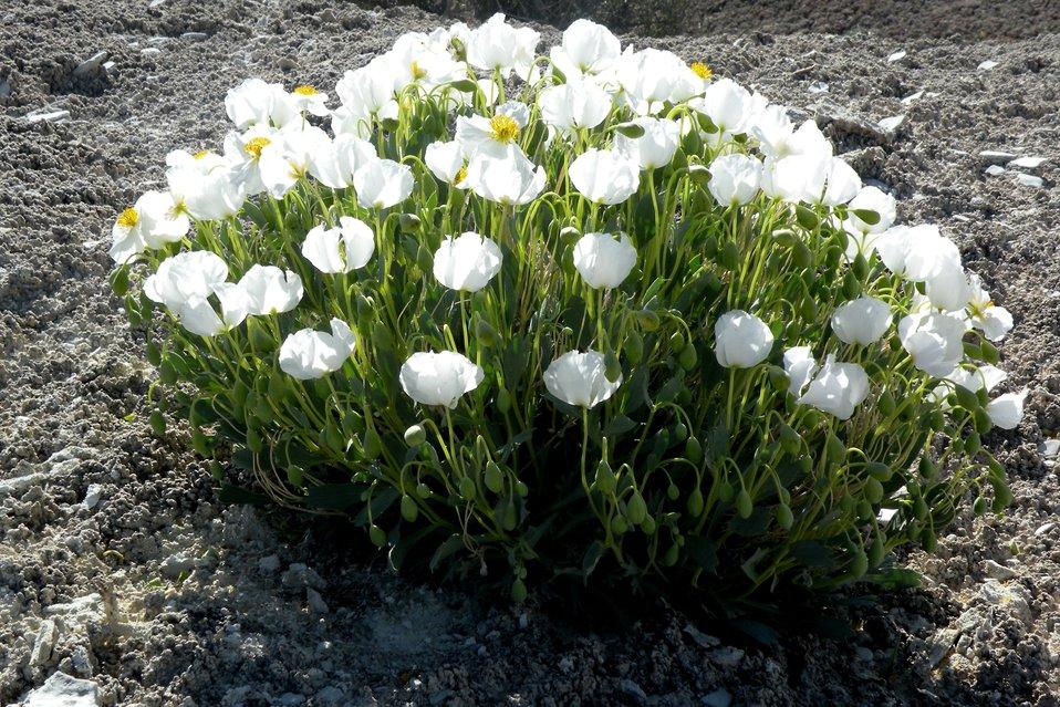 Dwarf Bearclaw-Poppy (Arctomecon humilis)