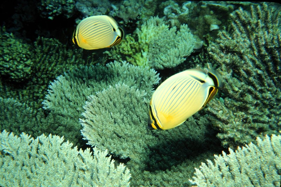 Butterflyfish at Johnston Atoll NWR
