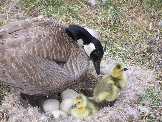 Successful Nesting